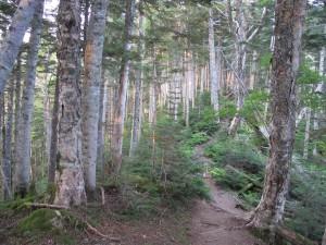 仙丈ケ岳樹林帯