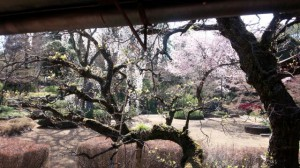 2015桜7