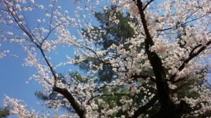 2015桜1